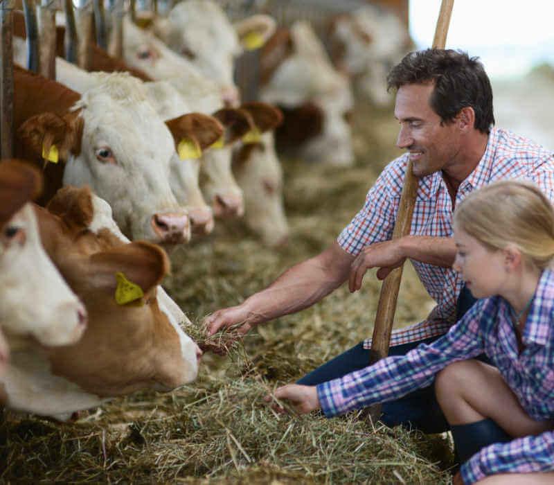 man and girl feeding cows hay
