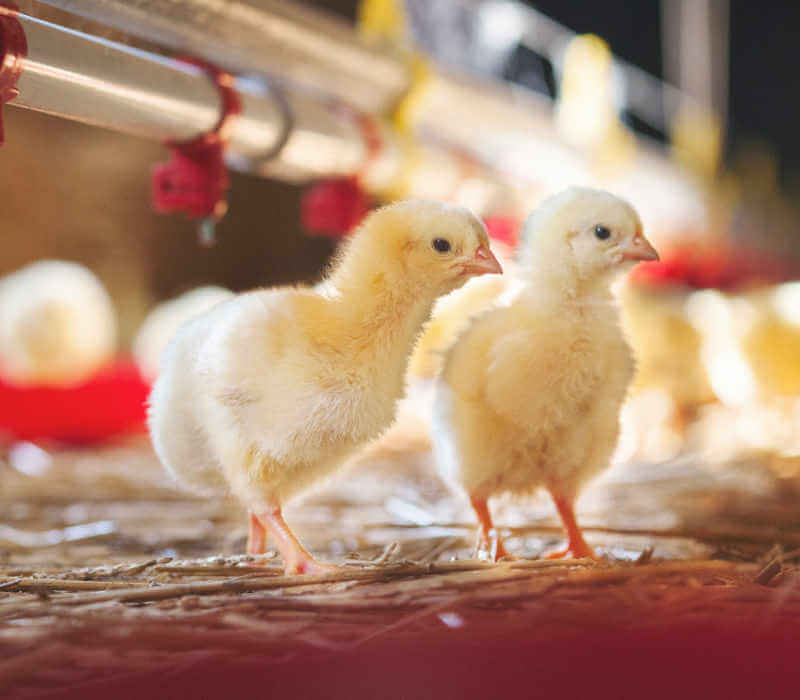 Two baby chicks at farm