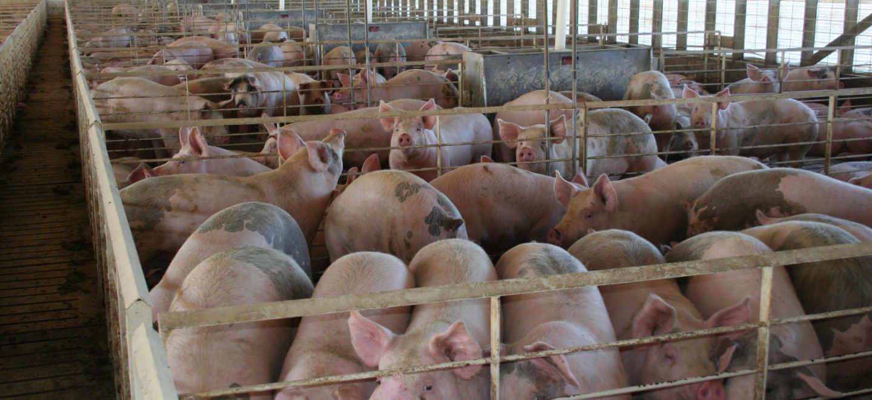 Hogs Inside an Iowa Swine Finishing Barn