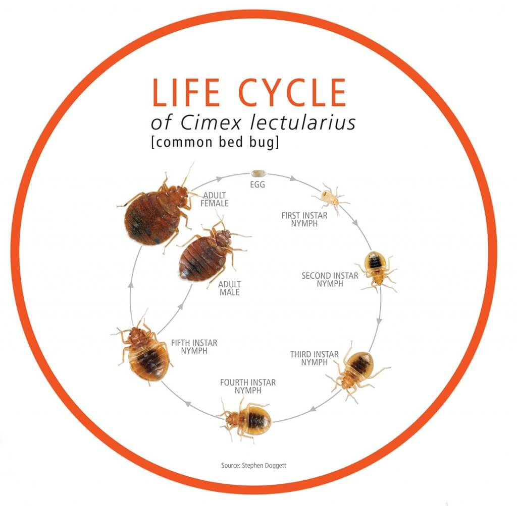 Life cycle graphic of Cimex lectularius (common bed bug): Egg → First Instar Nymph → Second Instar Nymph → Third Instar Nymph → Fourth Instar Nymph → Fifth Instar Nymph → Adult Female or Adult Male
