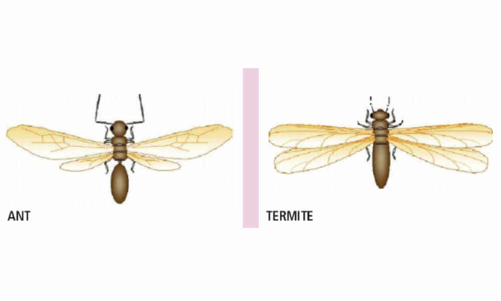 picture of ant and termite