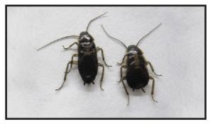 8 week old German Cockroach effected by IGR