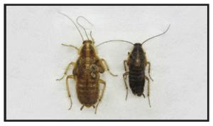 18 week old German cockroach effected by IGR