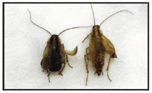 16 week old German cockroaches effected by IGR