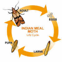 Life Cycle (Indian Meal Moth)