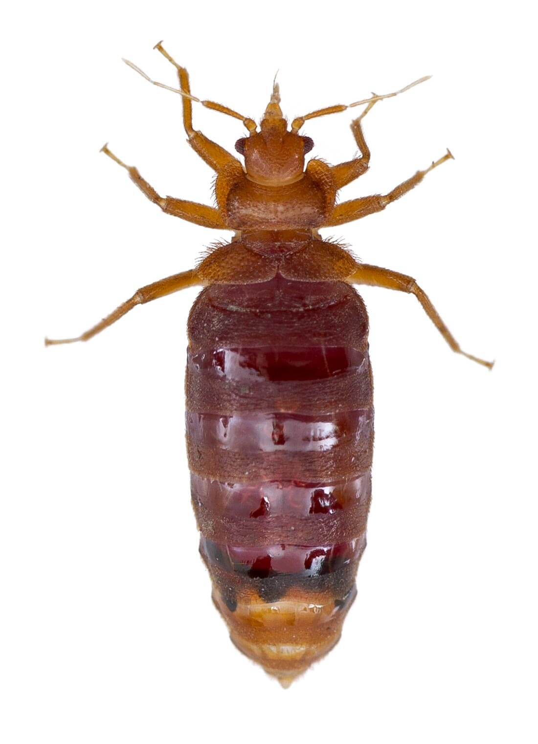 Adult Common Bed Bug: Broadly flattened, oval insect with greatly reduced wings (appearing wingless) and long, slender legs and antennae. Brown and approximately 1/4 - 3/8 inches long.