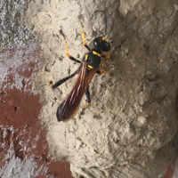 Mud dauber (Sceliphron caementarium)