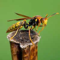 Paper Wasp (Polistes myersi ssp. myersi)