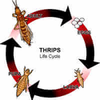 Thrips Life Cycle