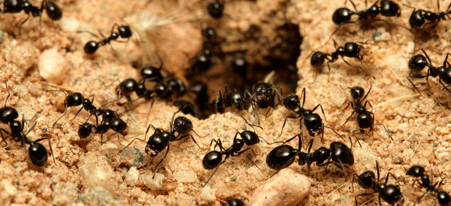 black ants on ant hill