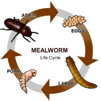Mealworm Life Cycle