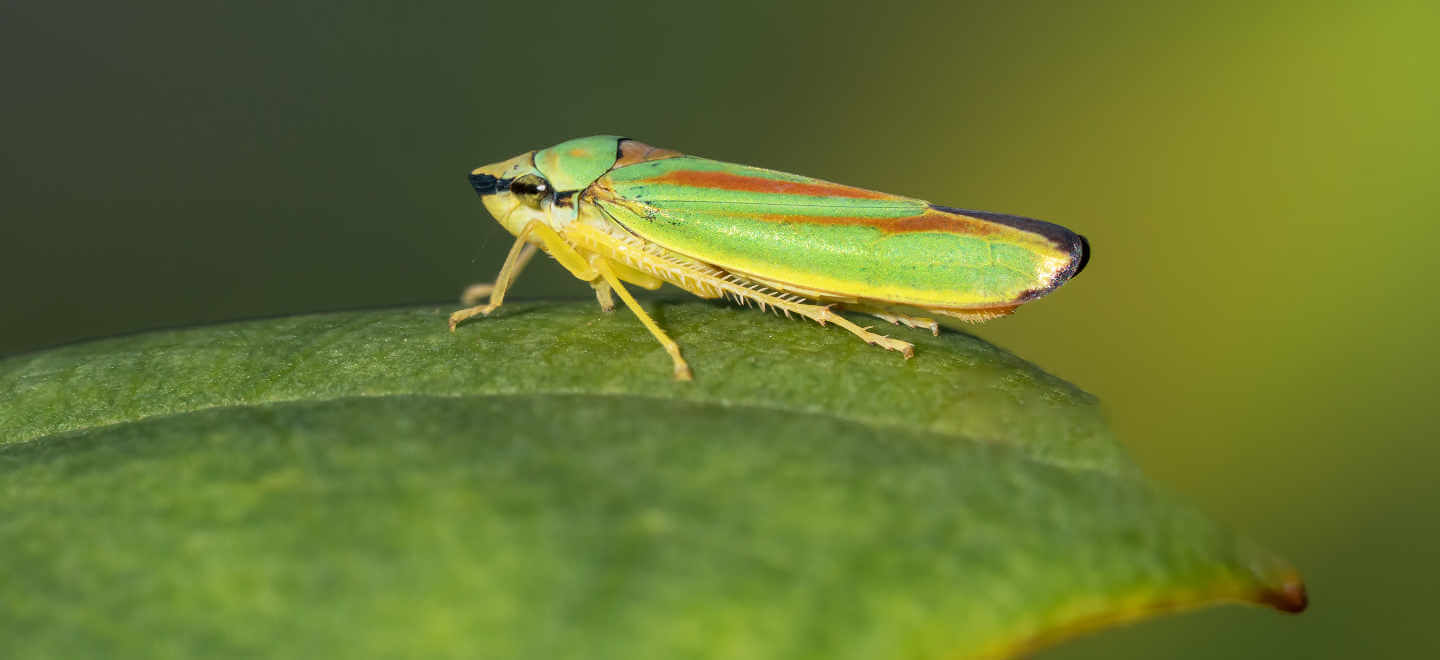 leaf hopper on leaf