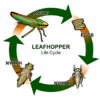 leaf hopper life cycle