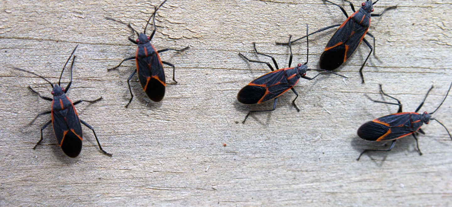 box elder bugs on table