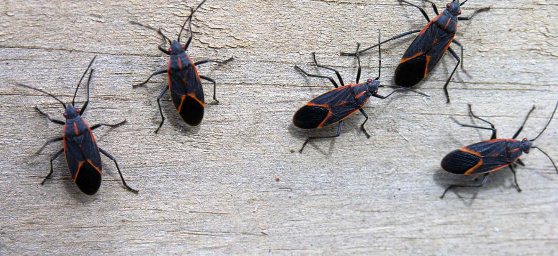 box elder bugs on table