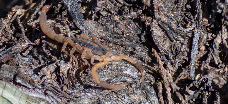 scorpion on wood chips