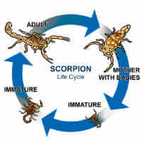 scorpion life cycle
