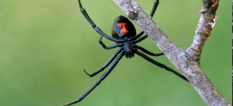 black widow on tree branch