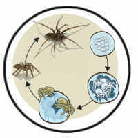 Spiders Life cycle