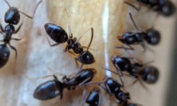 Close up of ants on bait
