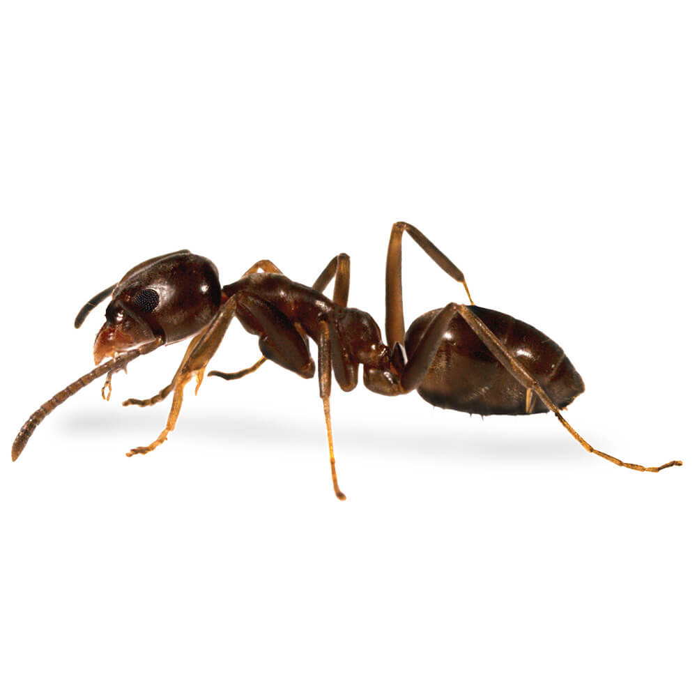 Argentine Ant: 1/8 inch long, light to dark brown in color with somewhat lighter legs
