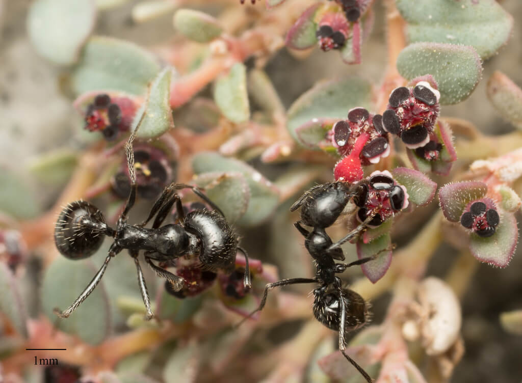 Black Harvester Ant