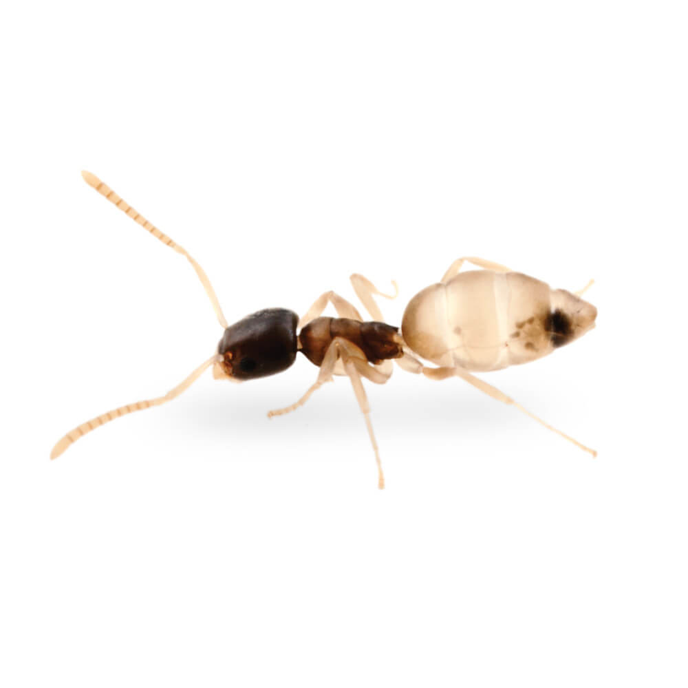 Ghost Ant: 1/8 inch long, head and thorax are dark in color while the legs and abdomen are lighter