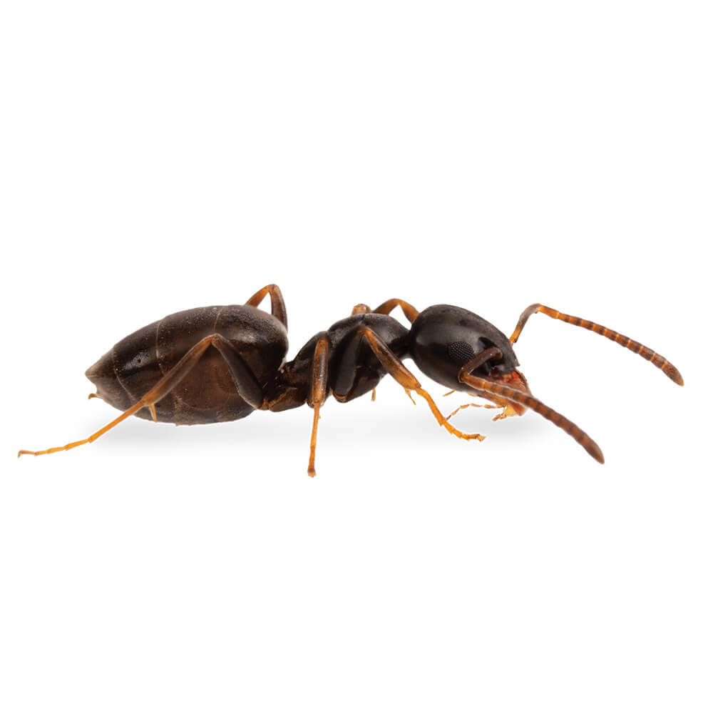 Odorous House Ant: 1/8 inch long, uniformly brown to black in color