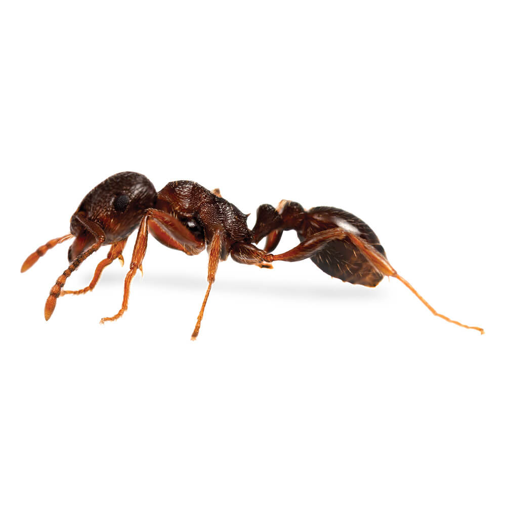 Pavement Ant: 1/8 inch long, head and thorax are sculpted with numerous parallel groves