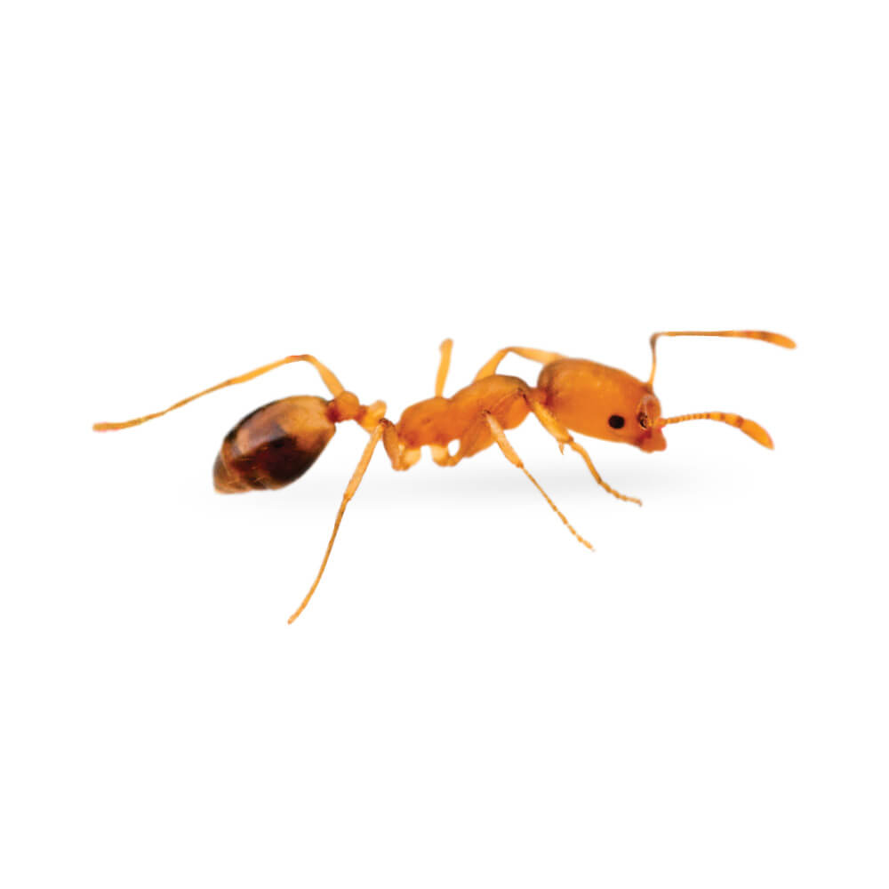 Pharaoh Ant: 1/16 inch long, yellowish or light brown to red in color, tip of the abdomen is darkened