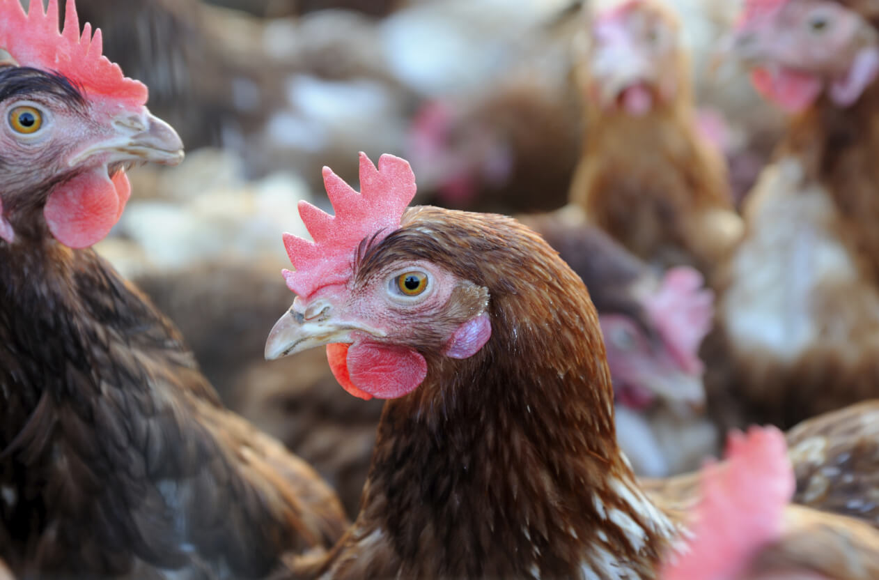 Chickens in cage-free facility
