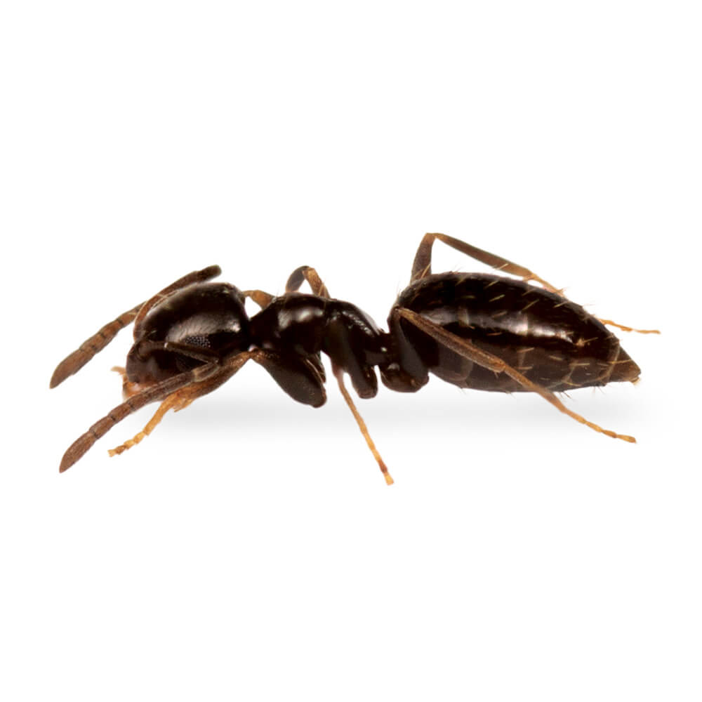 Rover Ant: 1/16 inch long, brown to dark brown in color; antennae, tarsi, and mandibles may appear paler