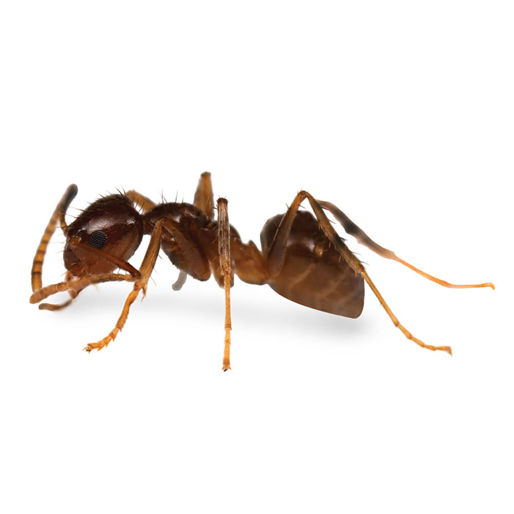 Tawny Crazy Ant: 1/8 inch long, reddish brown, thorax and abdomen are smooth and shiny