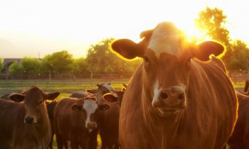 Cattle and herd with sunlight shining behind them