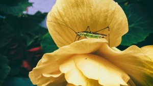Valentine's Day Blog - Green cricket sitting on a yellow rose