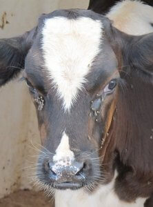 IPM Blog: brown and white cow with flies on face