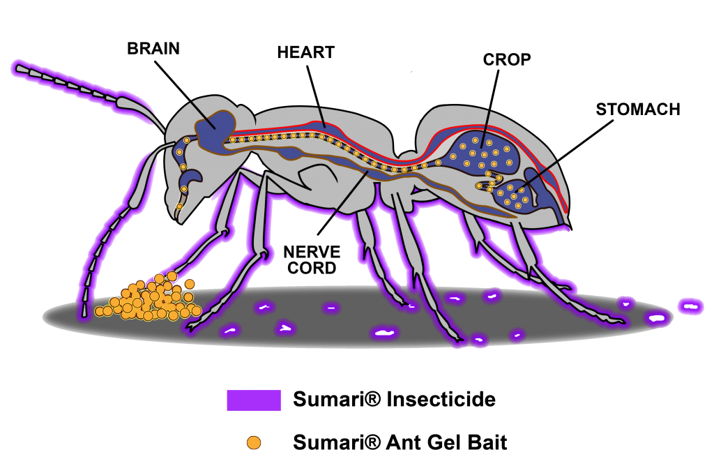 Sumari System - ant graphic visually showing insecticide (in purple) affecting ants through direct contacts and bait (in gold) affecting ants through ingestion