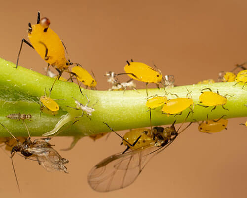 Yellow-gold Oleander Aphids (winged and wingless) on a green branch